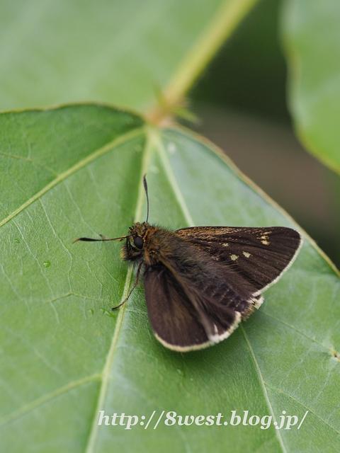 コチャバネセセリ02
