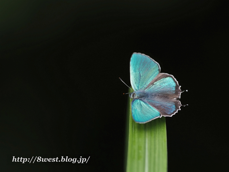 ジョウザンミドリシジミ02