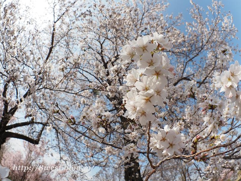 北熊井城址の桜04