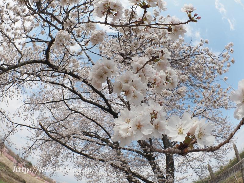 天空一本桜34