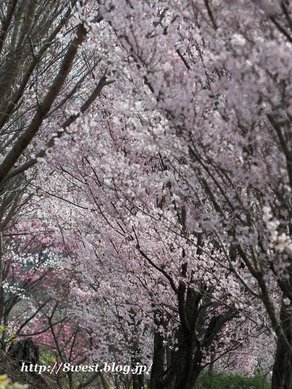北熊井城址の桜14