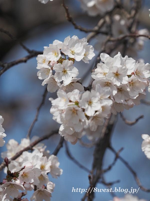 天空一本桜19