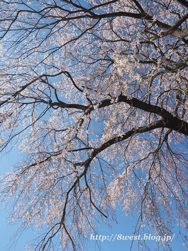 葛窪枝垂桜14