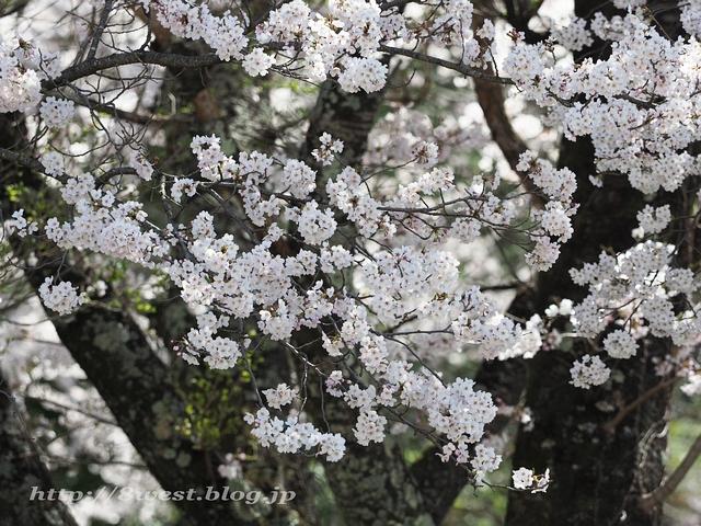 無量寺の桜18