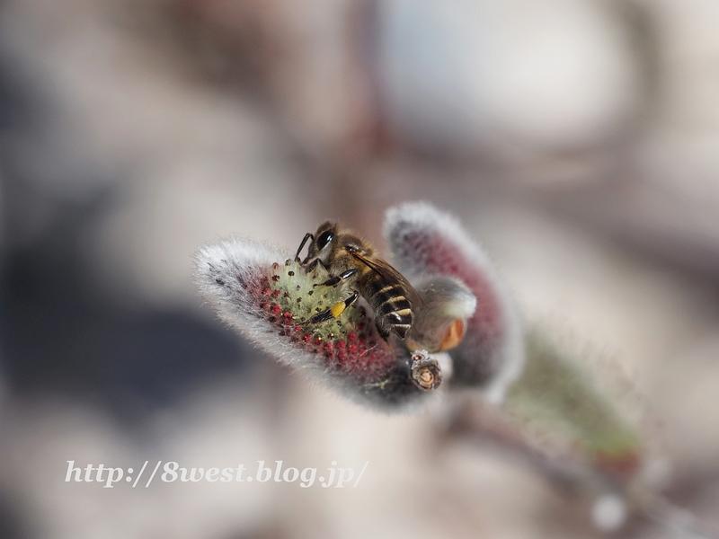 日本蜜蜂2