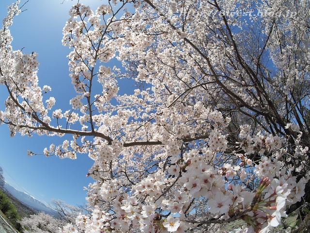 無量寺の桜14
