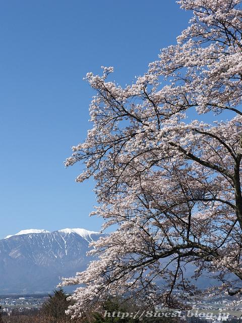 日輪寺の桜01