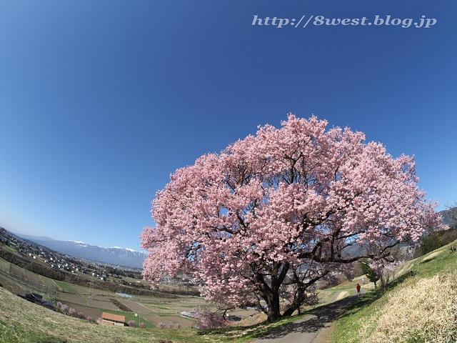 上ノ平の桜04