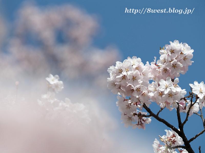 高遠桜02