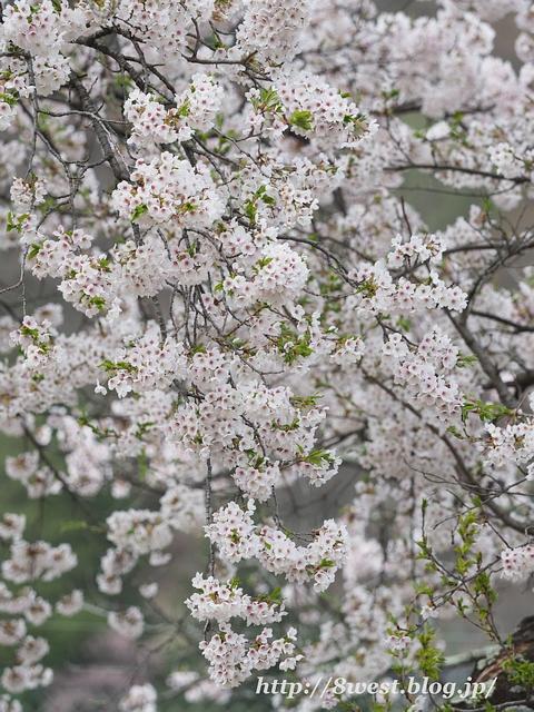 御野立桜2