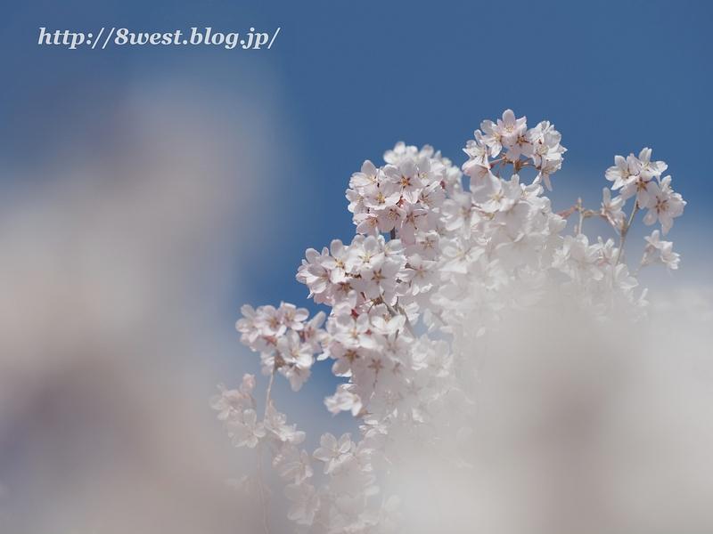 高遠桜43