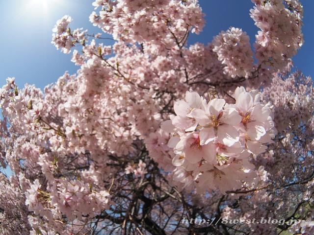 上ノ平の桜17