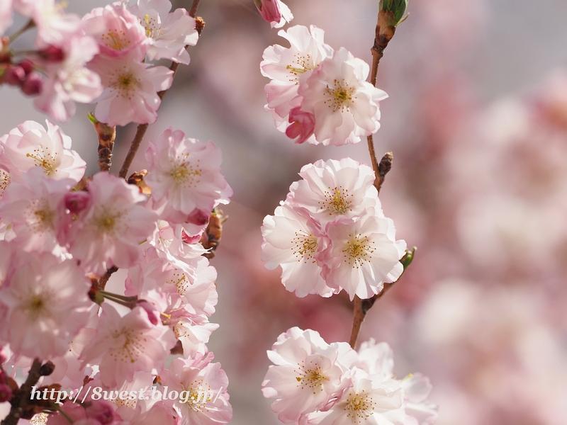 北熊井城址の桜16