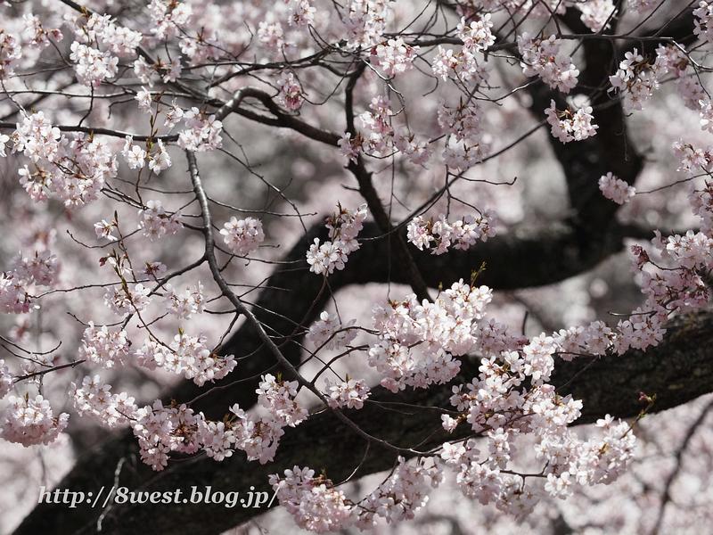 高遠桜24
