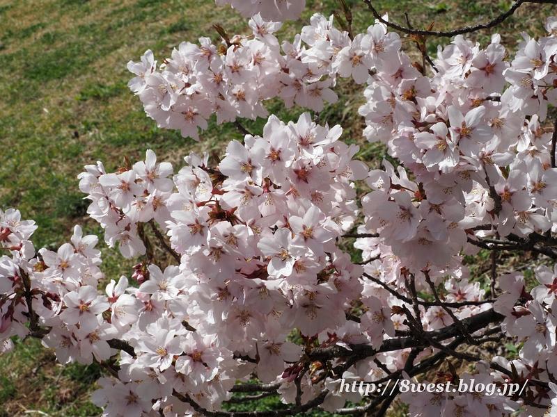高遠桜09
