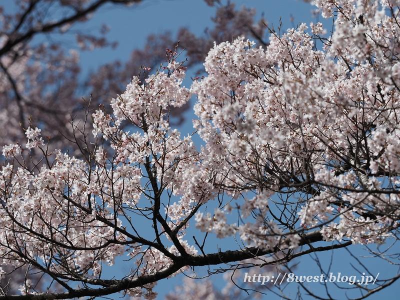 高遠桜07