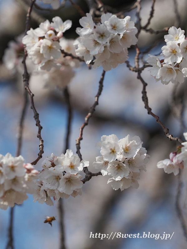 天空一本桜20