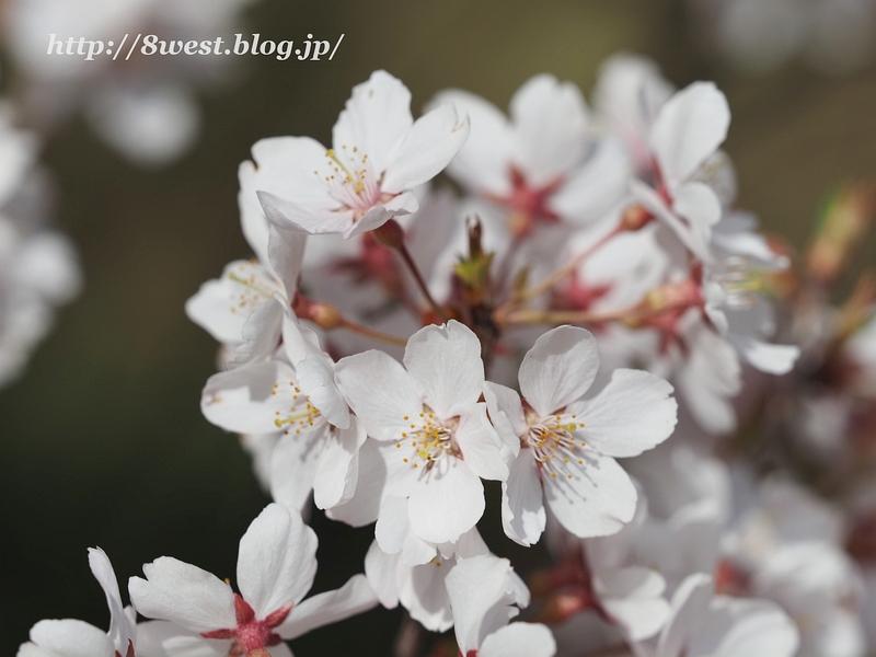 高遠桜42