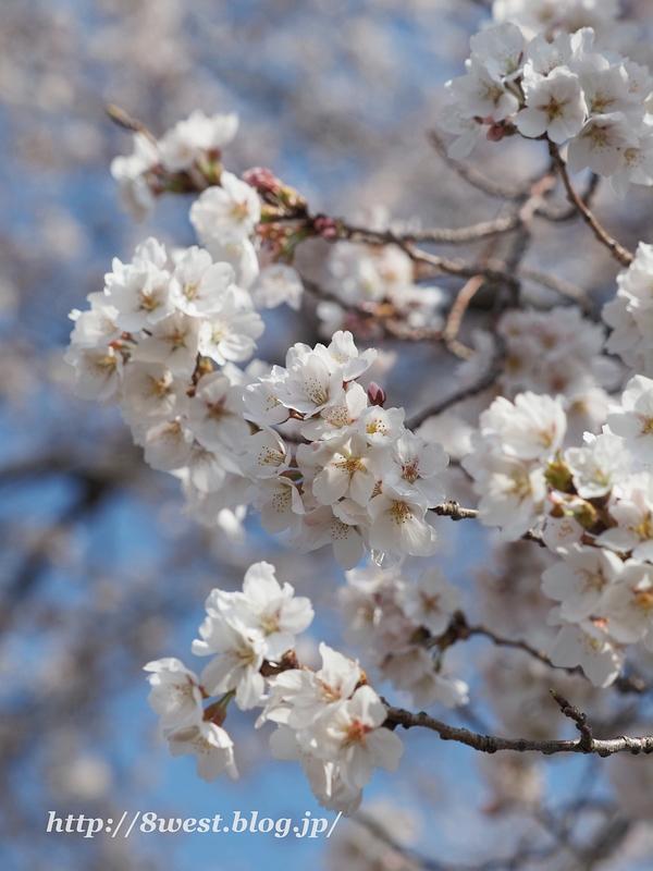 天空一本桜22