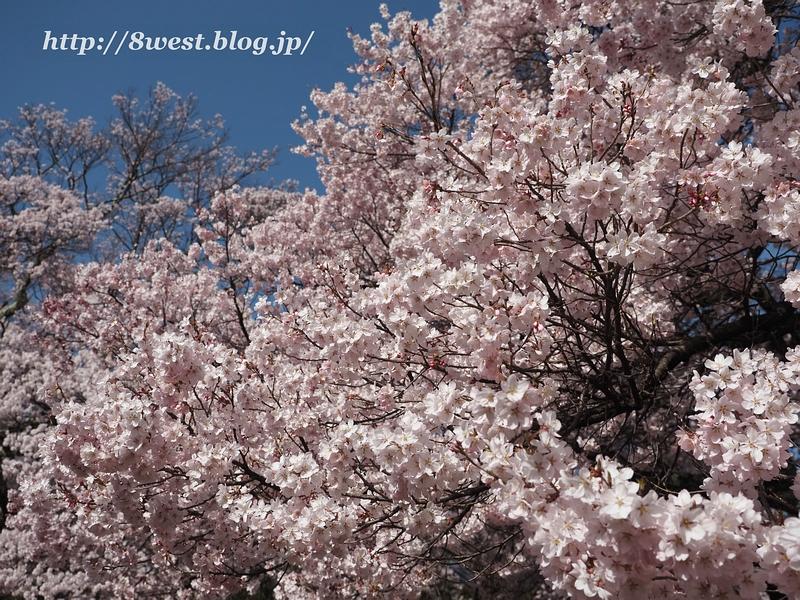 高遠桜34