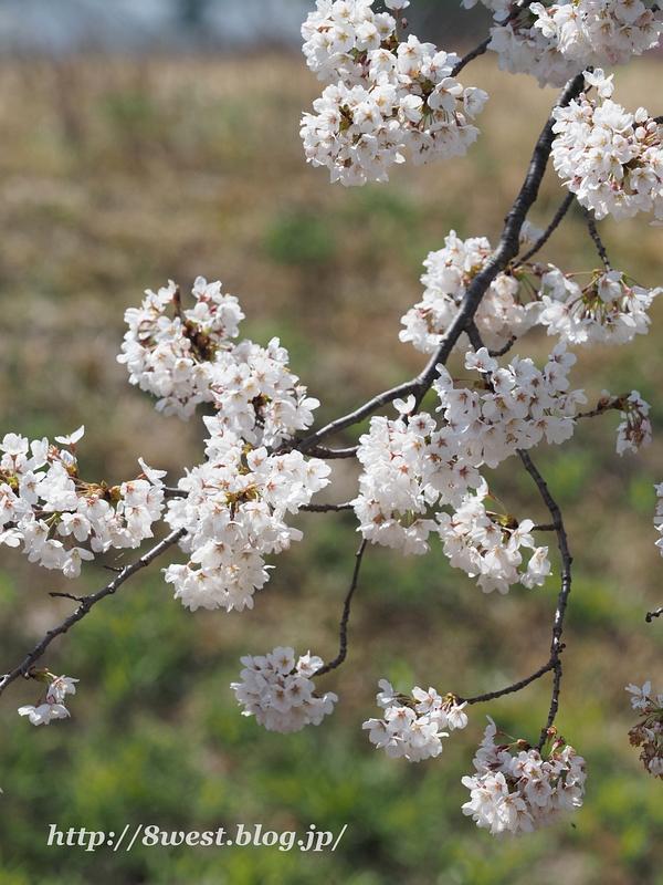 御野立桜03
