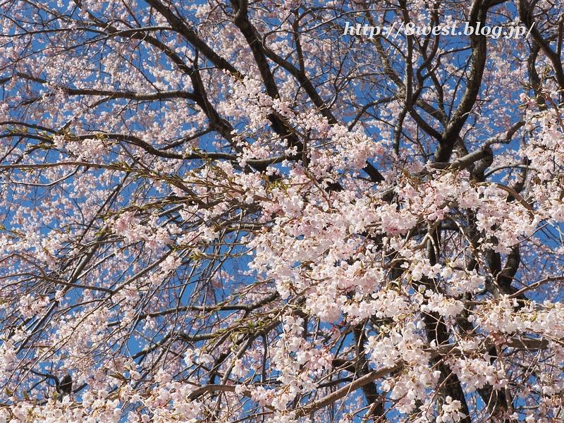葛窪枝垂桜04