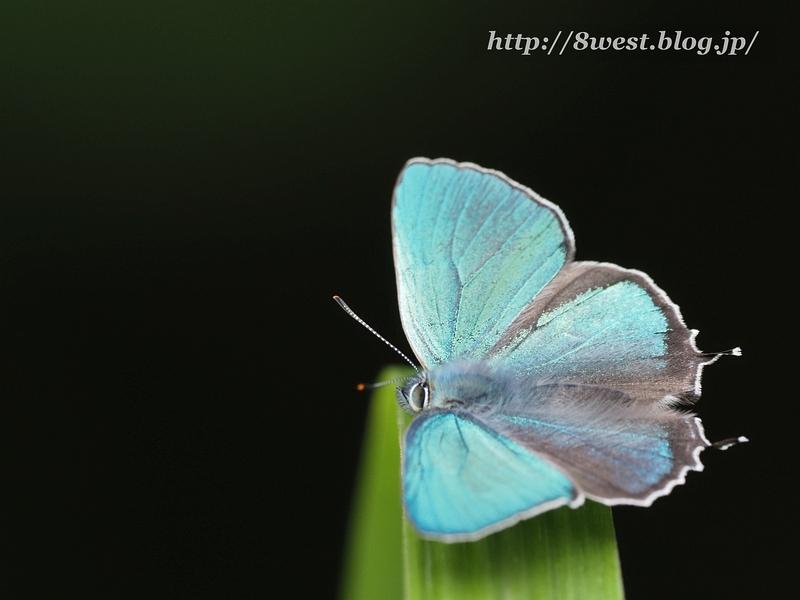 ジョウザンミドリシジミ01