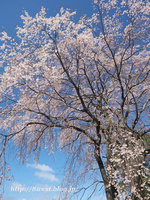 葛窪枝垂桜11