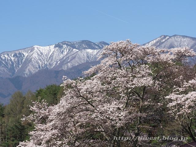 日輪寺の桜03