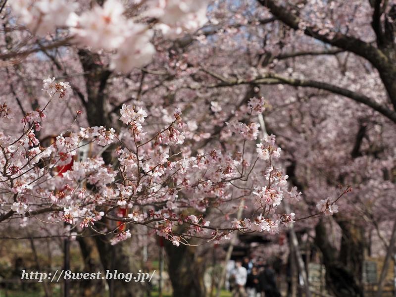 高遠桜23