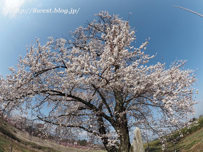 天空一本桜07
