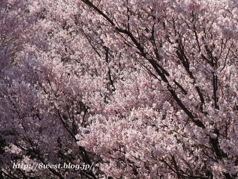 北熊井城址の桜02
