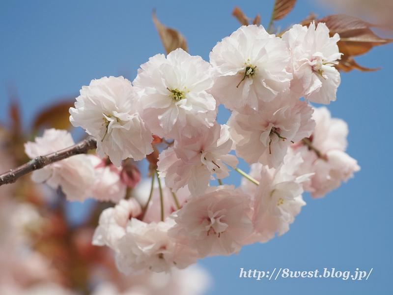 八重桜17