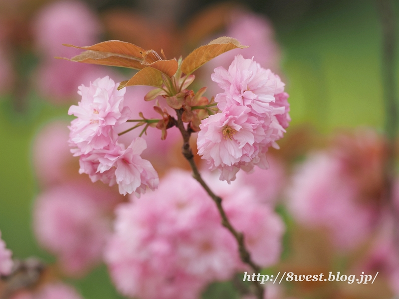 八重桜03