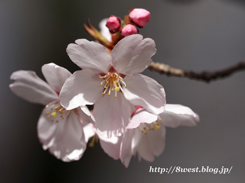 高遠桜15