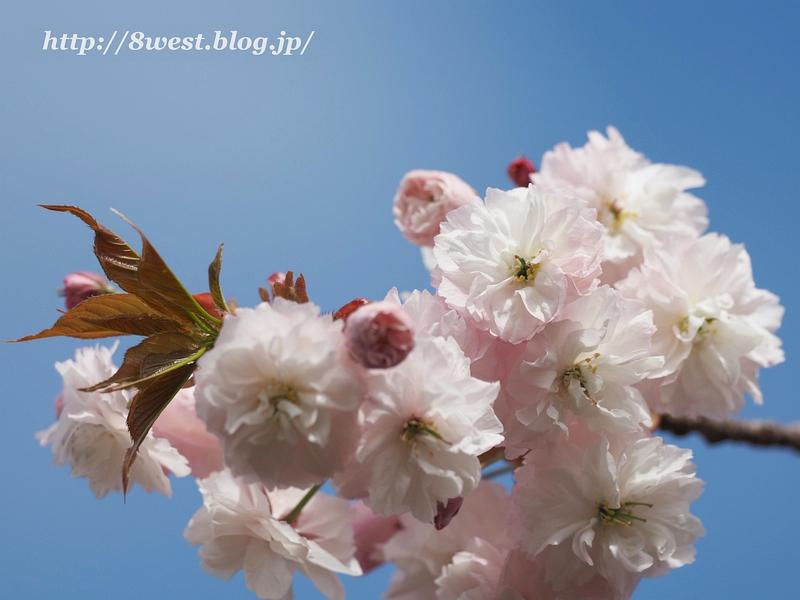 八重桜12