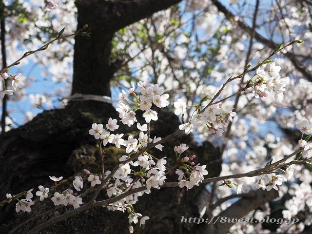 無量寺の桜03