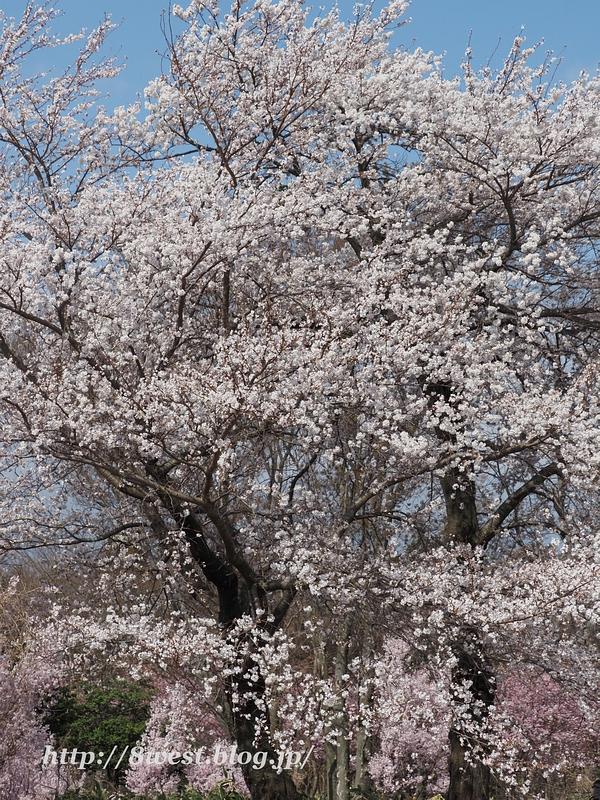 北熊井城址の桜08