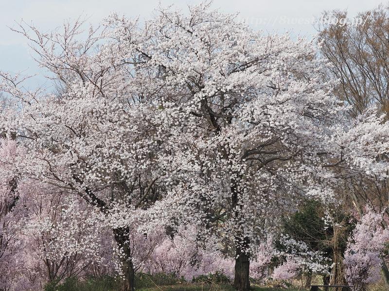 北熊井城址の桜01