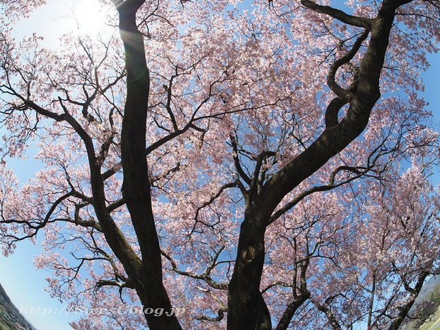 上ノ平の桜20