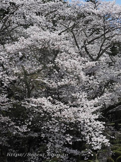 無量寺の桜25