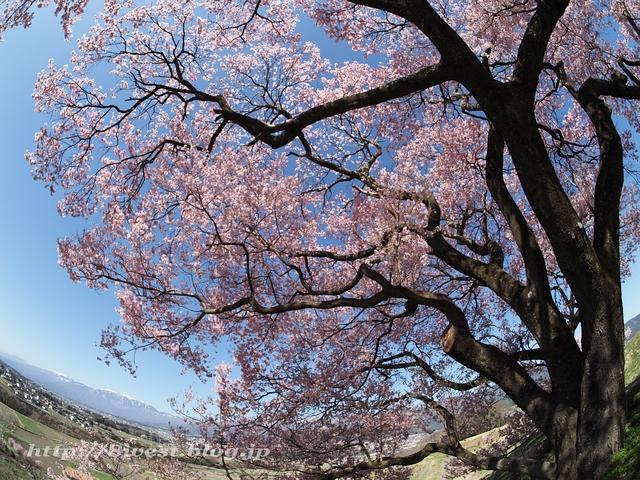 上ノ平の桜21