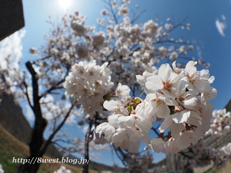 御野立桜04