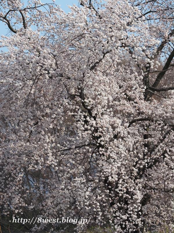 天空一本桜30