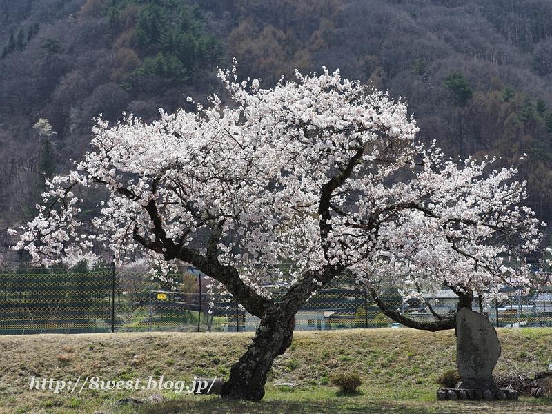 御野立桜12
