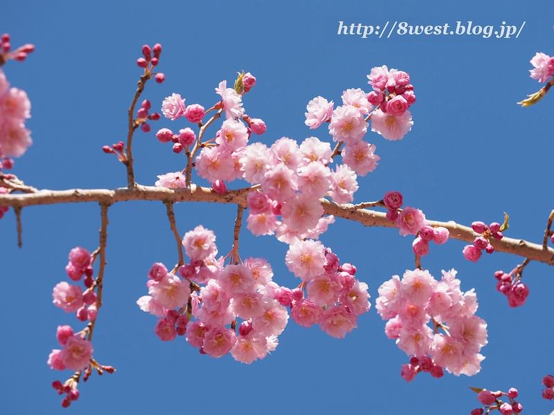 葛窪紅枝垂桜