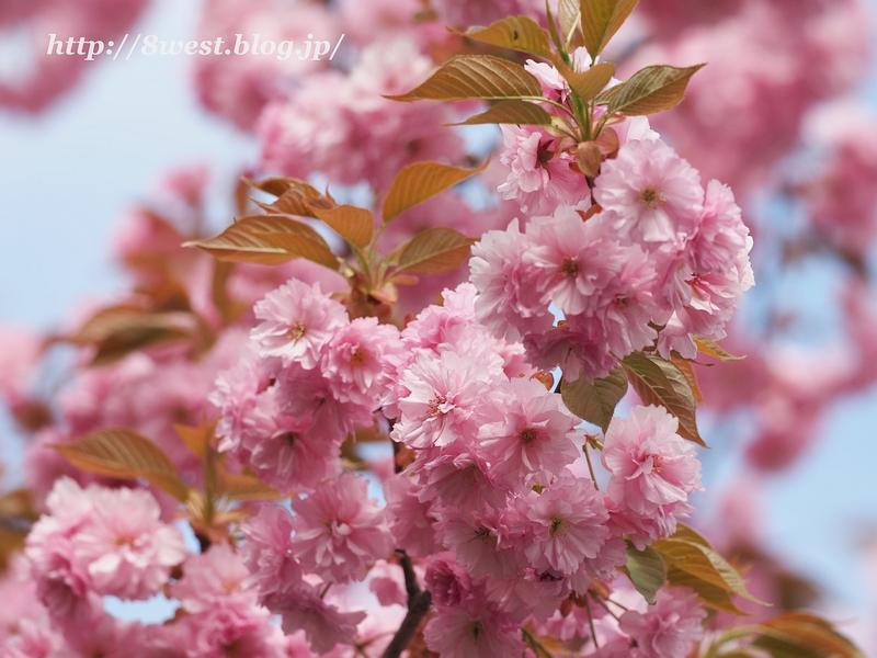 八重桜07