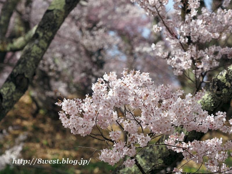 高遠桜45