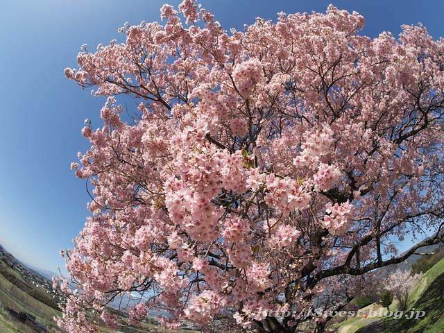 上ノ平の桜05