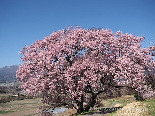 上ノ平の桜03